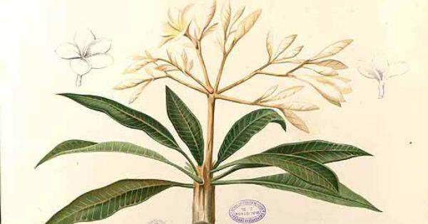 Plumeria 鸡蛋花属 Botanical Illustration Botanical Drawings Botanical