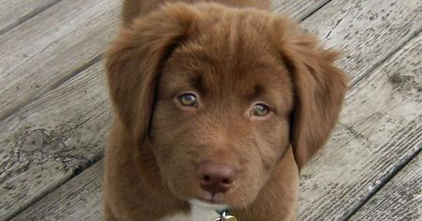 Chocolate lab, husky, and shepherd mix. Dying. | cute dogs ...