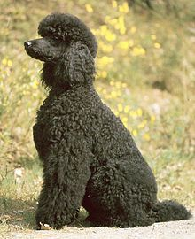 1942 The Poodle Was One Of 32 Breeds Officially Classified As War