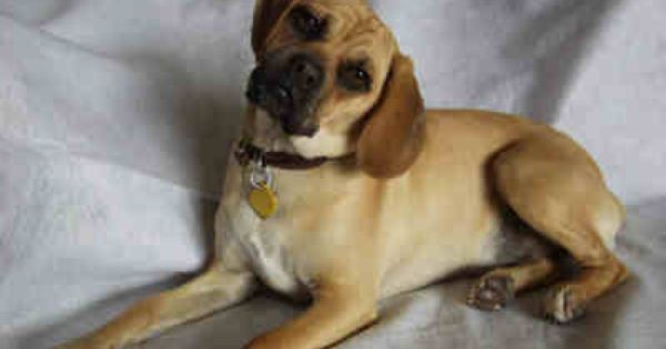 Full Grown Puggles Puggle Information Image Search Results