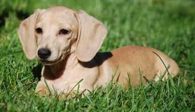Smooth English Cream Dachshund With Images Dachshund Breed