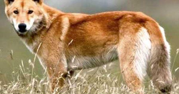 Dingo Dog Dingo Dog Australian Mammals Dogs