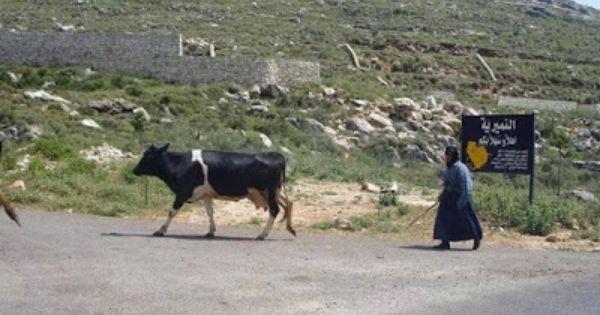 مدونة جبل عاملة مما تبقى من بقر العامليين Animals Cow Blog