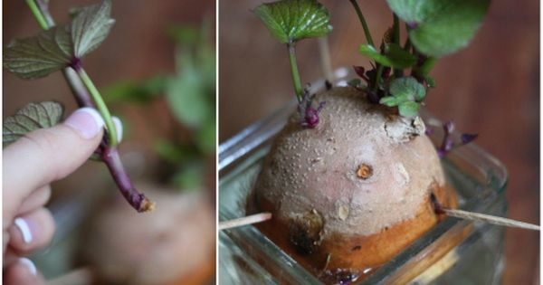 Sprouting sweet potatoes! How to use a sweet potato to sprout &