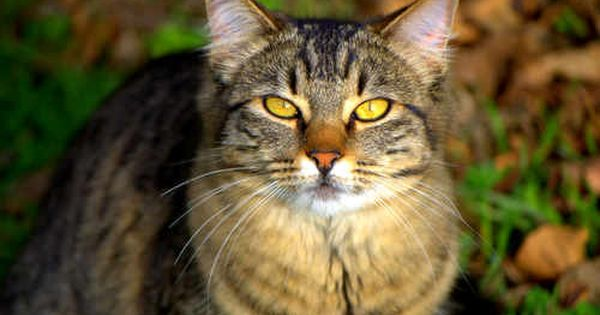 Beautiful Tabby Cat Google Search Tabby Cat Cats Tortoise