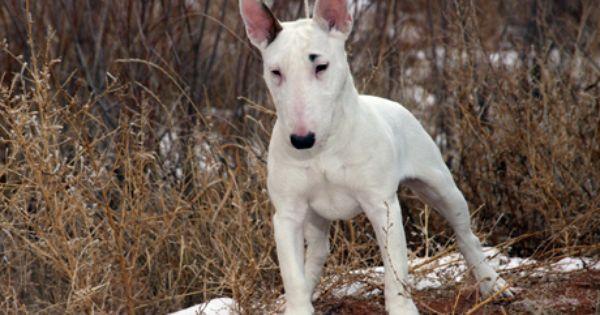 Bull Terrier Dog Breed Information Dog Breeds Medium Terrier Breeds Dog Breeds