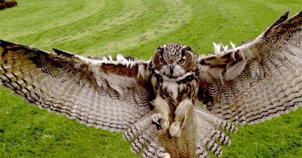 Great Horned Owl In Flight Aves De Rapina Coruja Animais