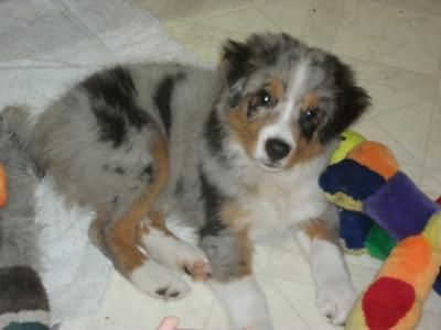 My Blue Merle Seems To Have Changed To A Red Merle Australian