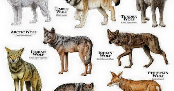 a dog of a different kind a comparison of wolves and domestic dogs Dogs are a distinct subspecies of gray wolf that is very different in both  the  natural way this happened is the reason why dogs also instinctively look to  a  tame wolf is still a wild animal (just as a feral dog is still a domesticated animal.