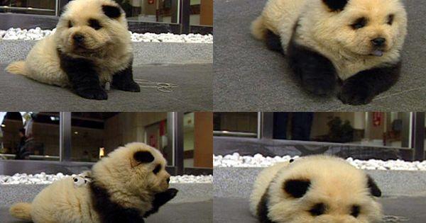 chow chow puppy aka panda puppy via pinterestwomen.org