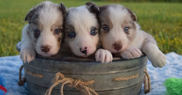 2j2k Border Collies Puppies For Sale Border Collie Puppies That Are Raised Right For You Puppies Maremma Sheepdog Puppy Border Collie Puppies