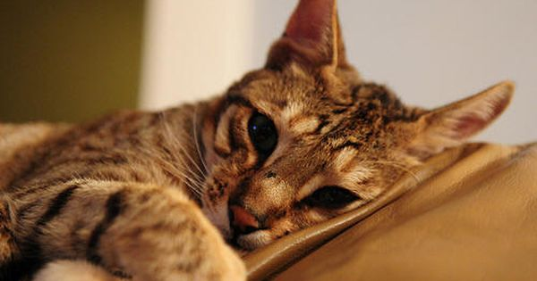 How To Care For Dogs And Cats Ear Mites