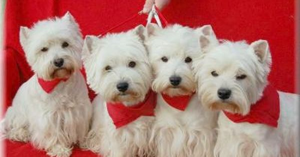 When You Have A Clan Like These Dogs There Is Nothing Better Than A Lot Of Trouble And The Love For Them Hund Und Katze West Highland White Terrier Tiere