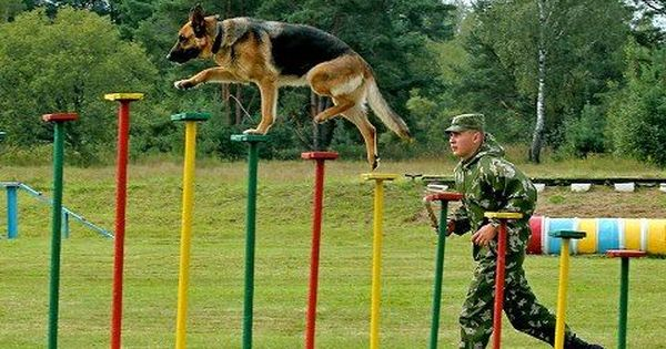 Agility Crufts Team Medium Final Military Working Dogs