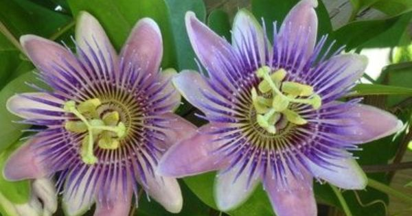 A Very Floriferous Hybrid Passion Flower Passiflora Blue Bouquet Is A Vigorous Large Semi Evergreen C Blue Passion Flower Passiflora Caerulea Passion Flower