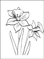 Daffodils Or Jonquil Coloring Page Coloring Pages Coloring Pages Cool Coloring Pages Flower Drawing