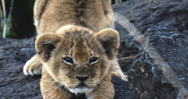 captvinvanity: Diana Weiss | Crouching cub | Animal ...
