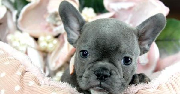 Miniature French Bulldog Puppies For Sale We Ship Very Safe Easy Financing Available Visi Bulldog Puppies