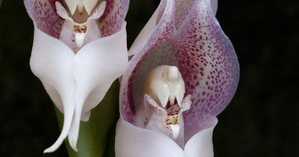 Orchid flowers praying angels amazingly intricate for Praying angel plant