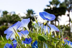 Morning Glory Flower Meaning Flower Meaning Flower Meanings Morning Glory Flowers Flowers