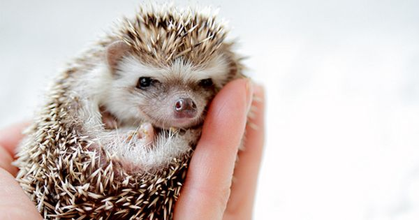 Adorable baby hedgehog