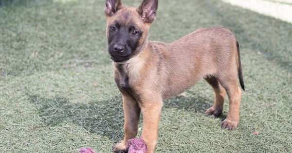 Litter Of 8 Belgian Malinois Puppies For Sale In Imperial Beach