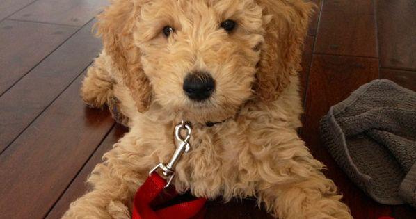 Standard poodle and golden retriever- golden doodle!