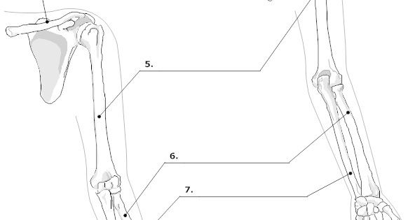 Bones of the Upper Limb Unlabeled   I Heart Anatomy ...  Upper Extremity Bones Unlabeled