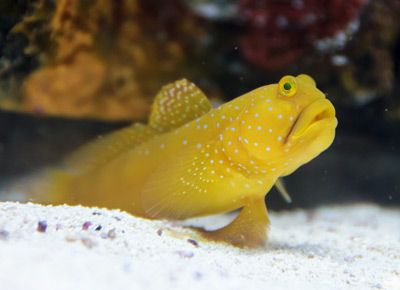 Yellow Prawn Goby It Can Be Found At Depths Of From 1 To 25 Metres 3 3 To 82 0 Ft In Coastal Bays And Lagoons The Species Can Re Goby Fish Fish Marine Fish