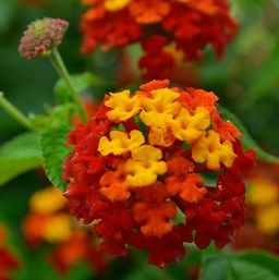 Lantana Camara Lucky Red Lantana Plants Drought Tolerant Plants