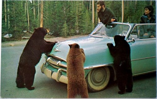 Bear 1: STOP this is a roadblock! Bear 2: We're looking for
