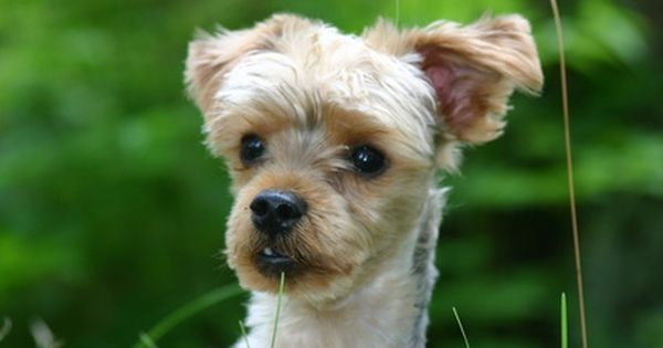 How To Take Care Of A Yorkie Poo Morkie Puppies Training Your