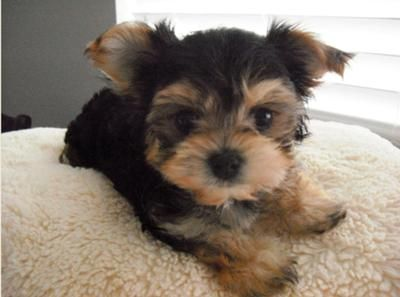 Is A Maltese Yorkie Mix The Right Dog For You Morkie Puppies