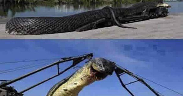 World Biggest Snake Killed In The Red Sea Naijahome Newz With