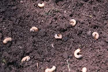 Dealing With White Grubs In Lawns White Grubs Are The Most