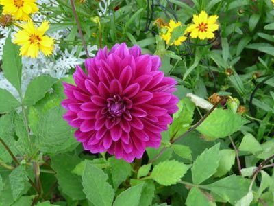 Dahlia Flower Colors Growing Dahlias Dahlia Flower Plants