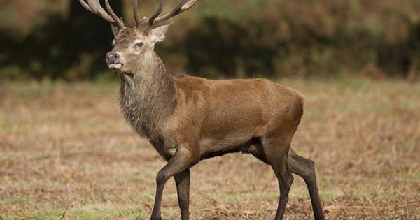 England Red Deer Stag Deer Wildlife Animals