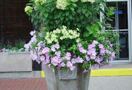 Urn Container Garden Hydrangea Petunias Flowers