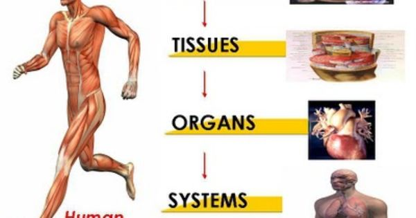 cell tissue organs powerpoint into four levels 1 cells 2 tissues 3 organs 4 organ systems. Black Bedroom Furniture Sets. Home Design Ideas