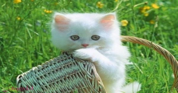 صور وكلمات صور قطط كيوت اجمل القطط في العالم Kittens Cutest Cats Cute Animals