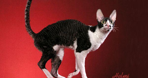 Cornish Rex Picture Cornish Rex Rex Cat Cornish Rex Cat
