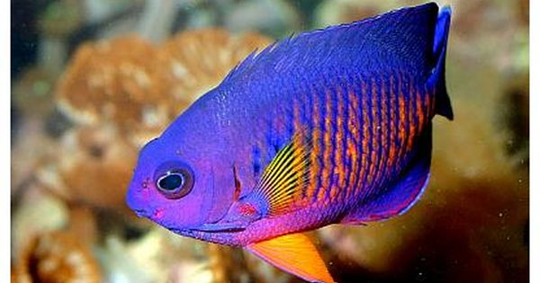 Pygmy Angelfish The Coral Beauty Angel Marine Fish Angel Fish Aquarium Fish