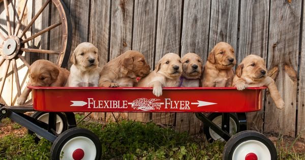 Golden Retriever Puppies For Sale English Cream Retriever Puppies