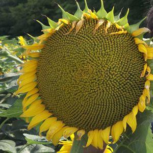 American Giant Hybrid Sunflower Seeds Dried Sunflowers Flower Seeds Growing Sunflowers
