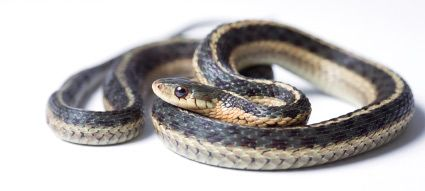 Garter Snake Care Housing Feeding And Caring For Garter Snakes Snake Garter Beautiful Snakes