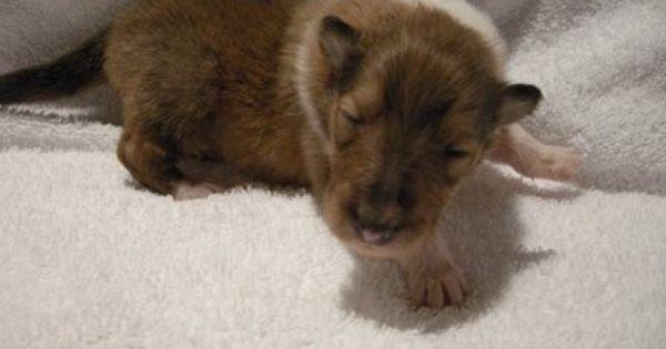 1 Week Old Collie Puppy Collie Breeds Collie Puppies Collie