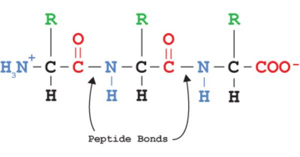 peptide bonds link amino acids to form polypeptides, which ... amino acid chain diagrams #9