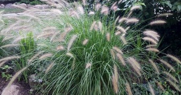 Discover great ornamental grasses grasses landscaping for Ornamental grasses with plumes