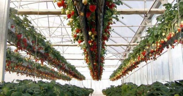 Cultivo de fresa bajo tunel fresas pinterest bajos for Jardines verticales introduccion