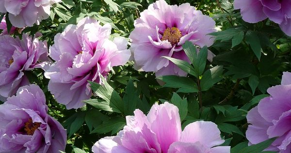 Top 5 easy care perennials for your garden peonies for Easy maintenance perennial flowers